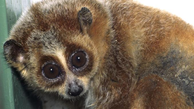 Аллергия на кошек может быть связана с ядовитыми приматами